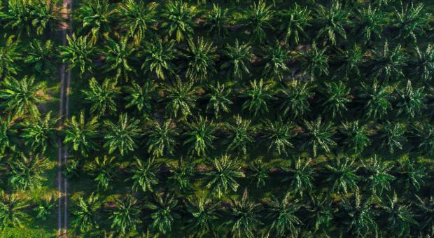 Na plantacji palmowej jeden dron zastąpi 500 rolników