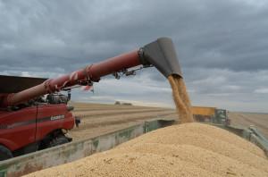 Szacunkowo przy plonie soi na poziomie 3-3,5 tony/ha opłacalność jest bardzo  porównywalna z pszenicą ozimą, fot. ArT