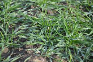 Ukraina: stan zbóż