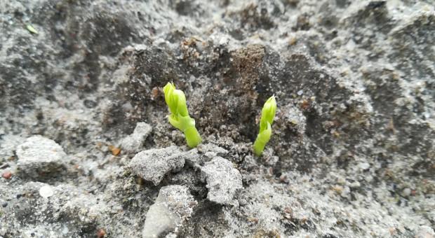 Groch ozimy vs jary: który wierniejszy w uprawie?