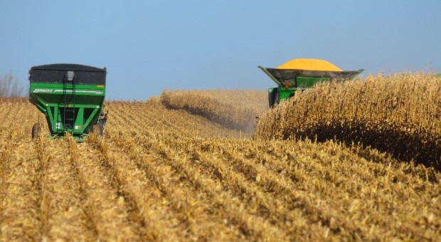 Na Białorusi zebrano zboże z prawie  100 proc. powierzchni