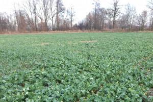 Czy rzepak w uprawie zerowej jest gotowy na zimę?