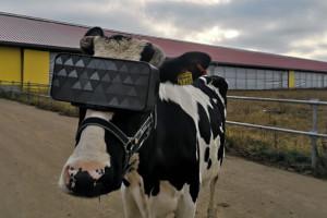 Krowy przechodzą do rzeczywistości wirtualnej