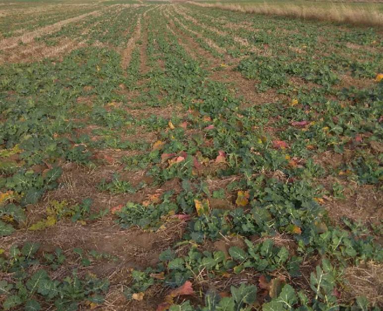 Pole, na którym wystąpiło negatywne działanie zastosowanego wiosną herbicydu na roślinę następczą.