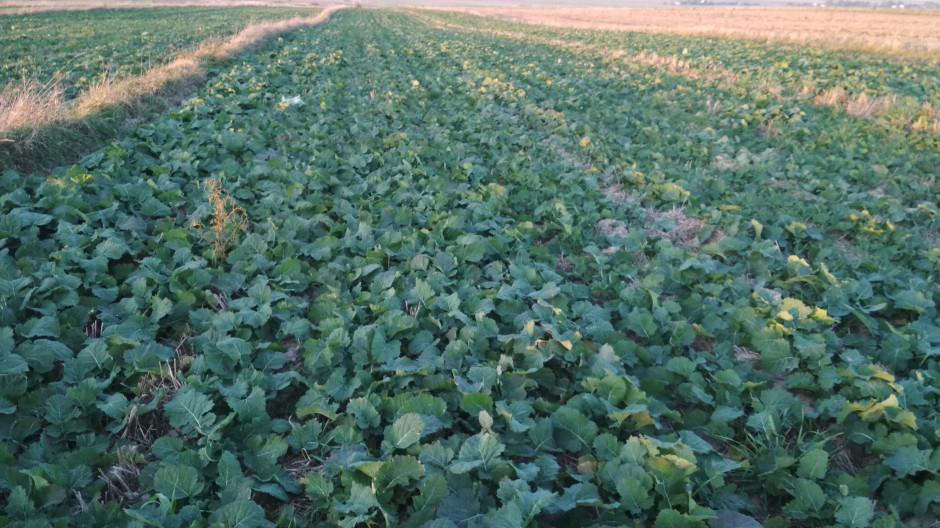 Pole z innym wariantem ochrony. Nie występuje zjawisko następczego działania herbicydu.
