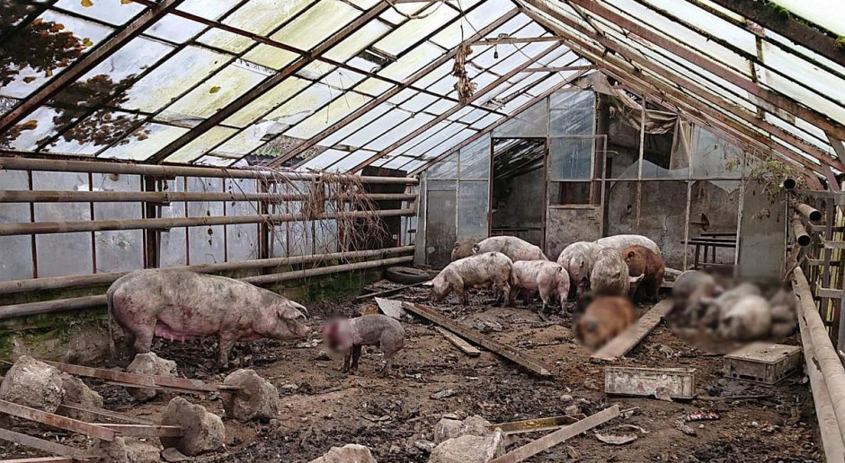Wygłodzone świnie, kozy i psy w gospodarstwie