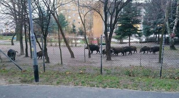 Dziki buszowały w poznańskim przedszkolu i na autostradzie A4