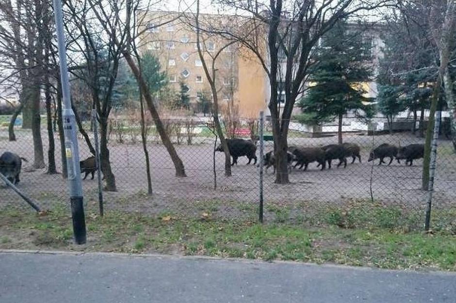 Wczoraj rano stado dzików buchtowało przed poznańskim przedszkolem, Foto: Straż Miejska Miasta Poznania