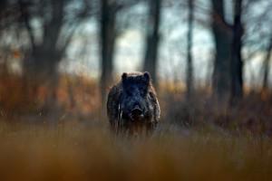 Wielkopolska: Trwa poszukiwanie padłych dzików w powiecie wolsztyńskim