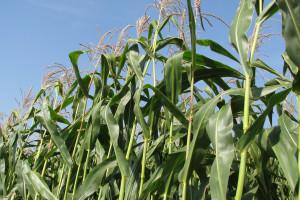 Plon kukurydzy kiszonkowej w 2019 r. bardzo słaby