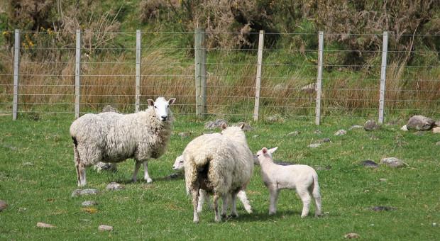 Nowa Zelandia: Więcej owiec, mniej krów mlecznych