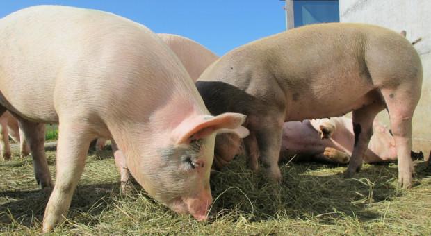 UE: Nadal rosną ceny świń rzeźnych w całej Europie