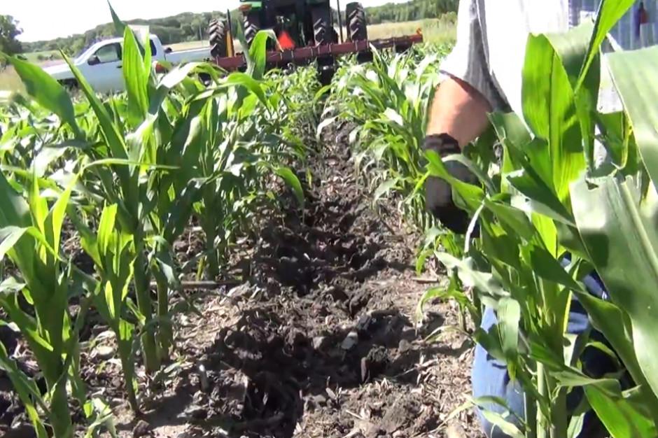 Nowy sposób na gromadzenie wody w glebie w uprawie kukurydzy