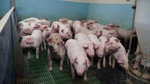 Stado liczy 80 loch, odchowane tuczniki trafiają do sprzedaży do zakładu mięsnego, tylko część trafia do rodzinnej masarni