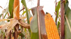 Kukurydza ma się dobrze. IGP Polska podsumowuje rok