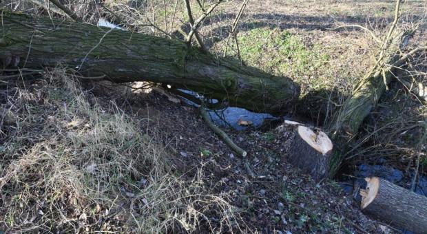 Wypadek przy wycince, drzewo przygniotło rolnika