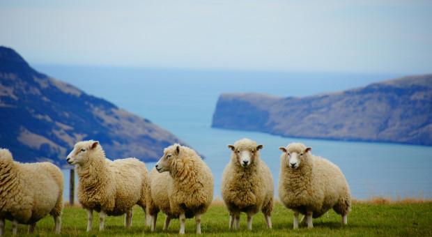 W Nowej Zelandii będą hodowane owce o niższej emisji metanu
