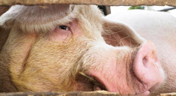 UE: Ceny świń rzeźnych w tendencji wzrostowej