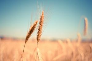 Cena pszenicy na MATIF bije kolejny rekord