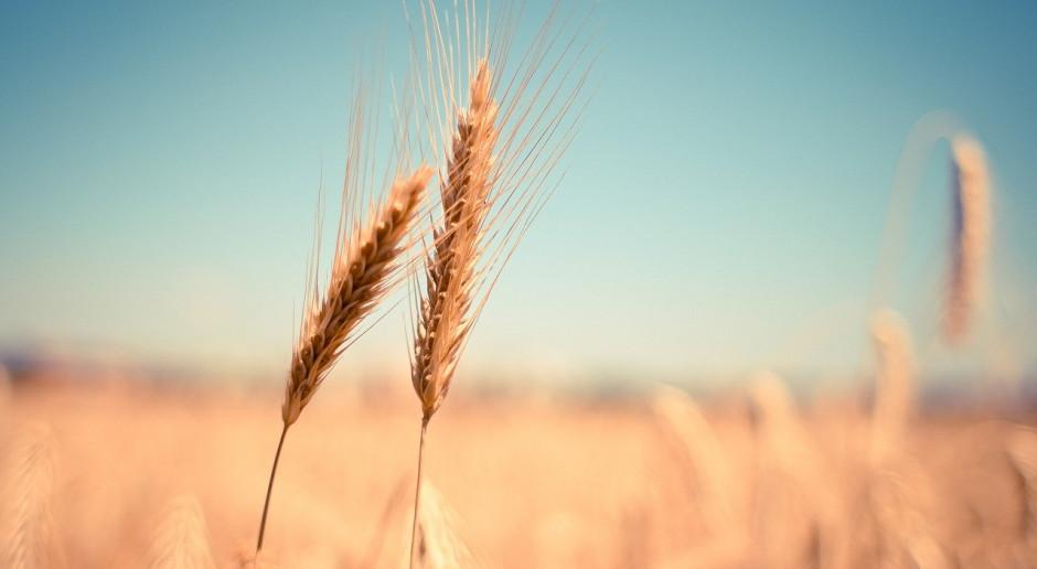 Nieznaczny spadek cen większości zbóż na świecie