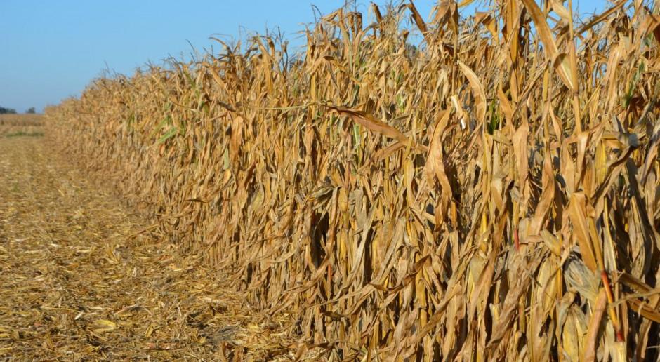 Niskie ceny kukurydzy a import z Ukrainy