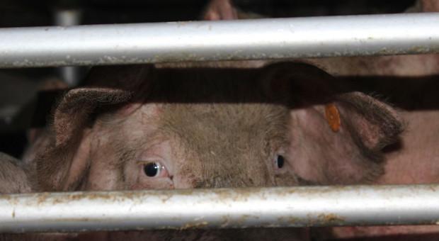 W chlewni padło tysiąc świń - prokurator w gospodarstwie