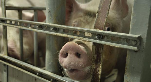 Ogromny deficyt wieprzowiny w Chinach. Będzie drogo