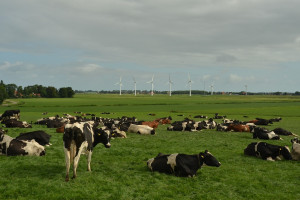 Holandia: Producenci mleka pozywają bank