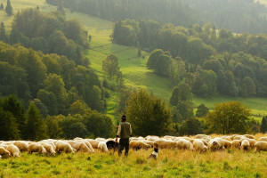 IERiGŻ-PIB: Spowolnienie wzrostów ubojów owiec  w UE