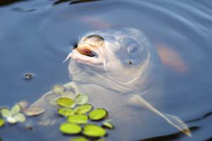 Będzie pomoc po suszy dla producentów ryb