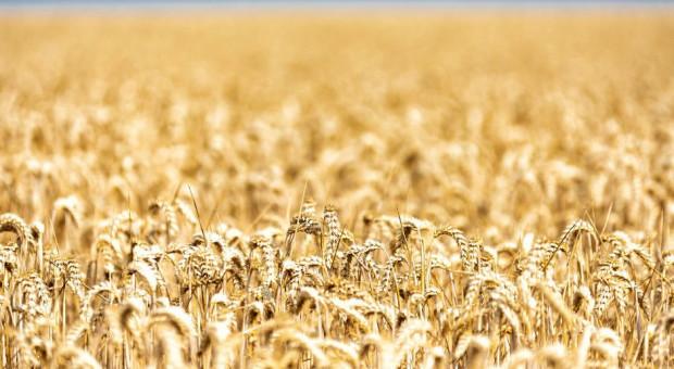 Pod koniec roku ceny zbóż stabilne