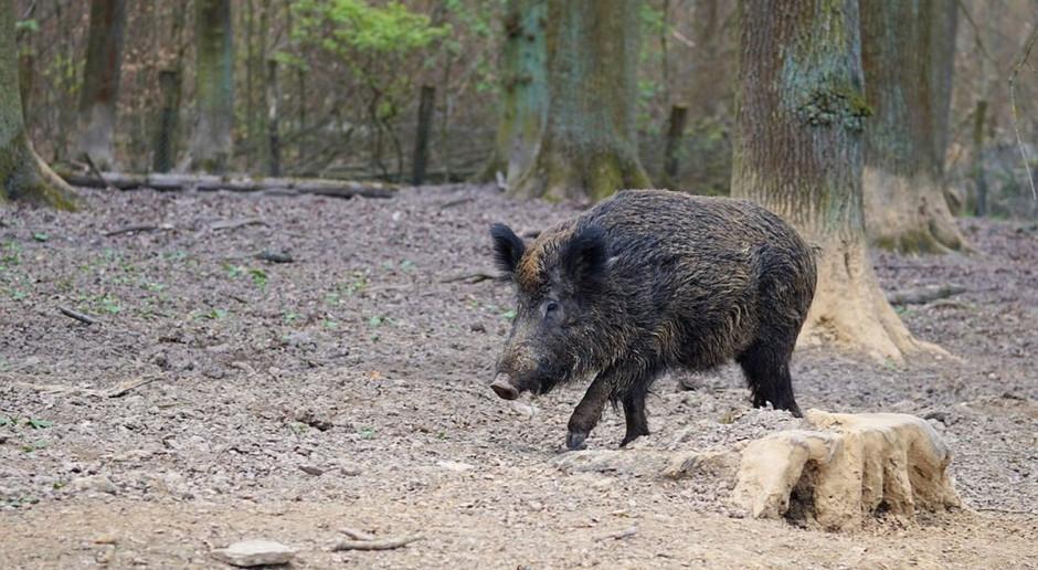 Sejm uchwalił ustawę ws. zwalczania afrykańskiego pomoru świń