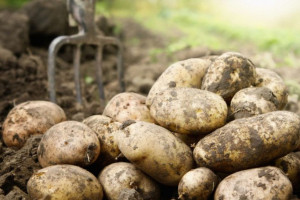 PDO ziemniaka skrobiowego 2019