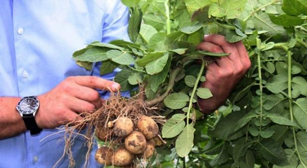 PDO ziemniaka jadalnego 2019