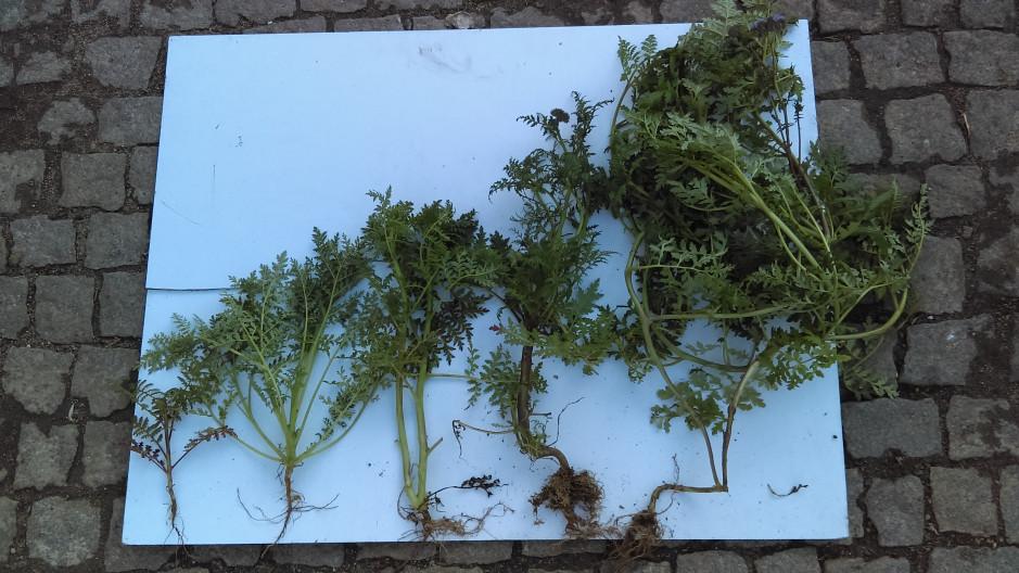 W przypadku wysiewu roślin poplonowych w mieszance, następuje zróżnicowanie faz rozwojowych poszczególnych roślin jednego gatunku wchodzących w skład mieszanki. Widać to na przykładzie roślin facelii zebranych tego samego dnia z jednego pola.