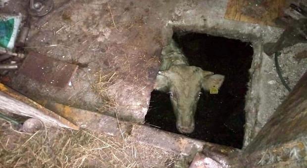 Byk wpadł do szamba, wyciągnąć go nie było łatwo