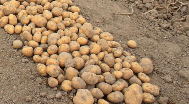 Podsumowanie rynku ziemniaka