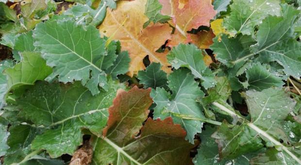 GUS ocenił stan ozimin – rośliny nadmiernie wyrośnięte