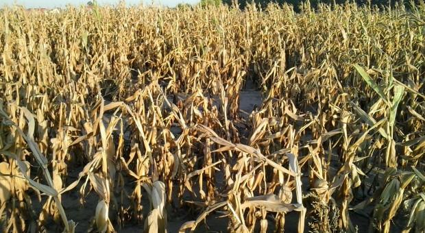 Okres wegetacyjny dłuższy o 10 dni - zmiany klimatu a rolnictwo