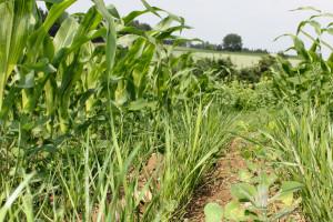 Wsiewka w kukurydzę. Cz. 1. Zalety wsiewek