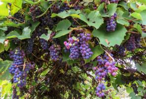 Nowy kierunek studiów w Polsce: Winogrodnictwo i Enologia