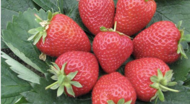 Grandarosa - polska odmiana truskawki, która podbije Europę?