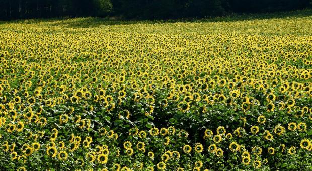 W Rosji padł rekord  zbiorów słonecznika