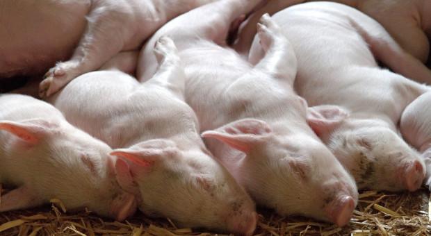 Niemcy: Spadło pogłowie zwierząt hodowlanych