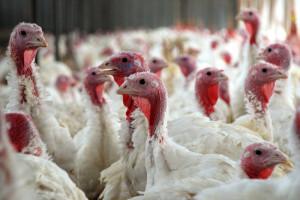 W związku z grypą ptaków w sobotę likwidacja 40 tys. indyków