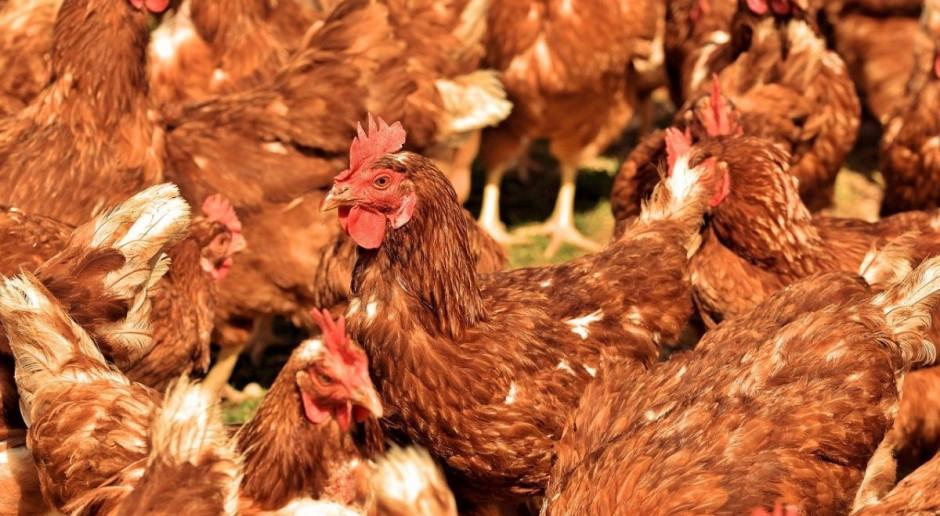 Oszacowano wartość niosek chorych na ptasią grypę