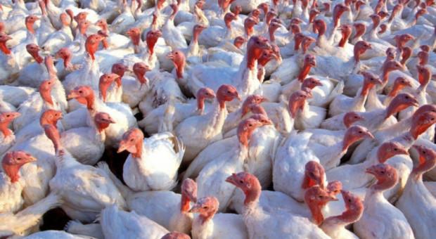 Lubelskie: kolejne ognisko grypy ptaków