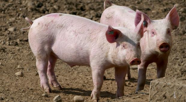 ISN: W 2019 r. ceny świń w UE wyjątkowo wysokie