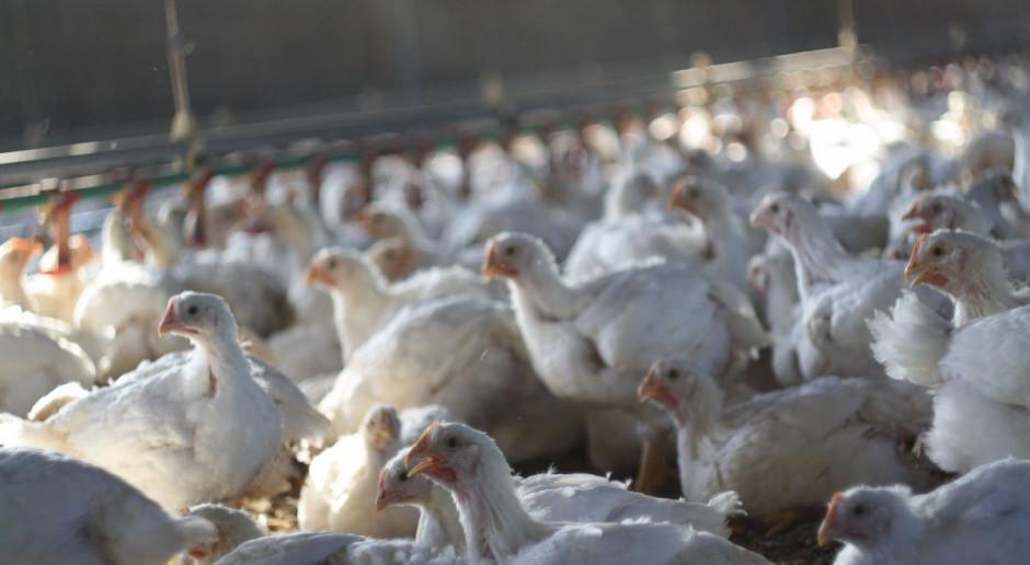 Pakistan: Szarańcza stanie się paszą dla hodowców drobiu
