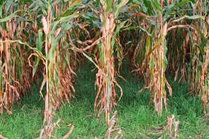 Wsiewka w kukurydzę. Cz. 4. Doświadczenia z Niemiec